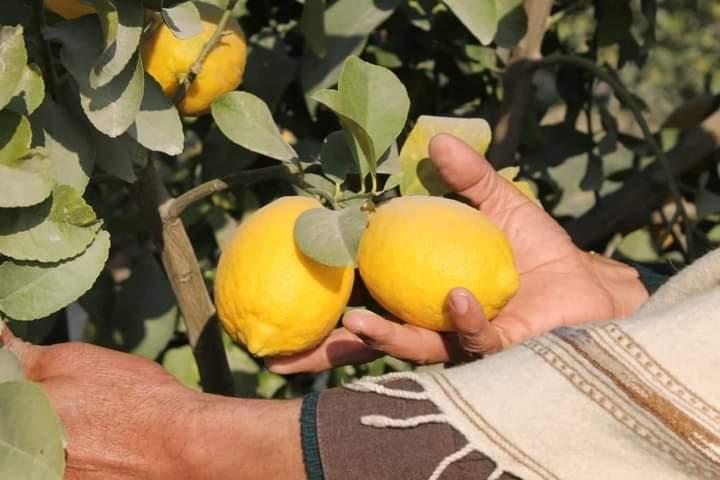ننګرهار کې لیمو نږدې شپږ سوه زره ټنه حاصل ورکړی.